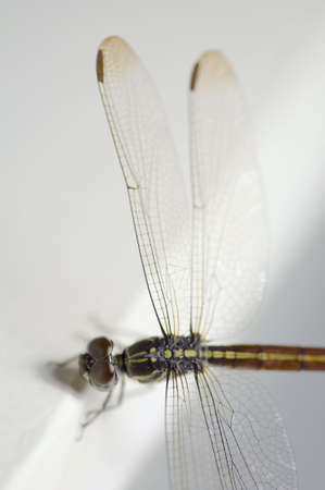 anisoptera: Close up shoot of a anisoptera dragonfly, green beige in color with focus on the body and the right wings