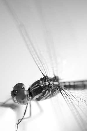 anisoptera: Close up shoot of a anisoptera dragonfly, black and white