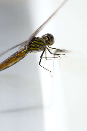 anisoptera: Close up shoot of a anisoptera dragonfly, green beige in color
