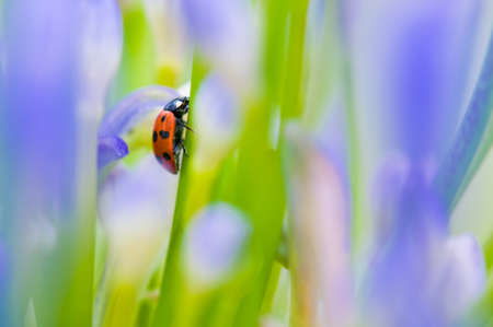 ladybeetle: Close up shoot of a ladybug in a summer flower