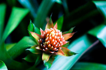 aechmea: Beautiful Bromeliads flower isolated