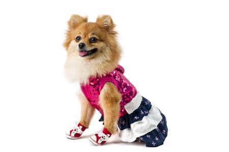 Roztomilý Pomeranian pes přes bílé