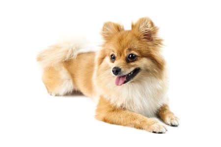 The cute Pomeranian dog over white photo