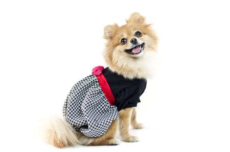 perros vestidos: El lindo perro de Pomerania en blanco