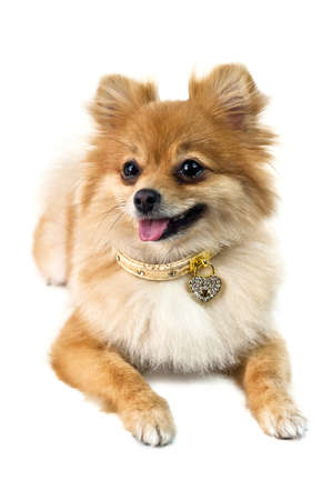 The cute Pomeranian dog over white photo