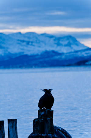 Cormoran bird sits on a pier in winter in a Fjord in Norway above the arctic circle photo