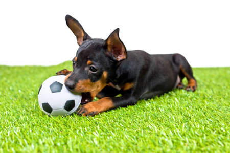 Young puppy, lies down with football, over white Stock Photo