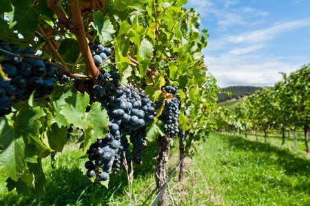 Obraz byl natáčení v Austrálii v Yarra Valley vinařství