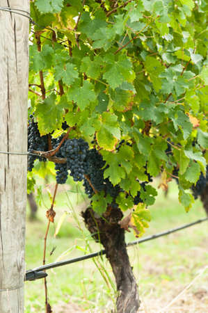 syrah: Ripe red wine grapes right before harvest in the summer sun