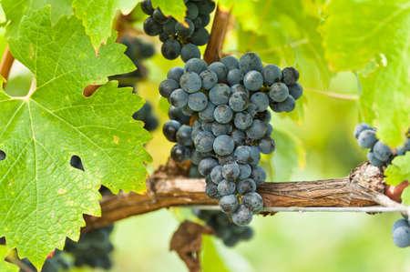 Zralé červené víno hrozny těsně před sklizní v letním slunci Reklamní fotografie