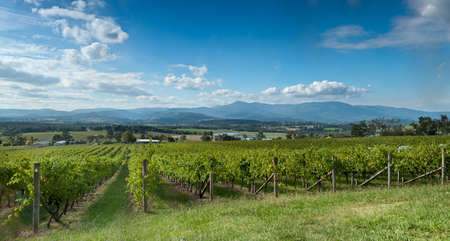 mountain valley: View of vine in the Yarra Valley, near Melbourne, Australia