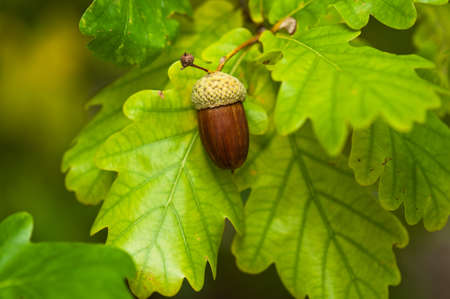 tree nuts: Fruit of an Oak tree ripe in autumn, on a sunny day