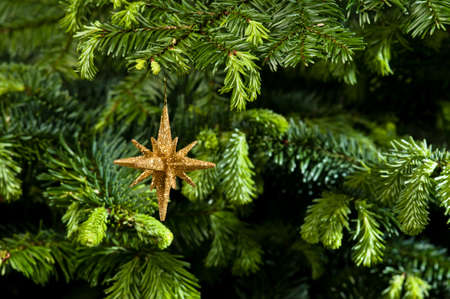 Star shape Christmas ornament, gold in color, in fresh green Christmas tree Stock Photo - 14122437