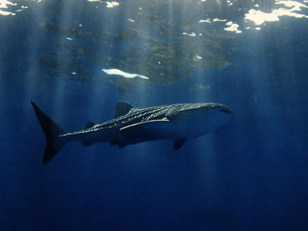 whale shark with nice blue and sun rays photo