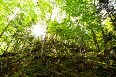 deciduous woodland: Sunlight penetrates the green deciduous woodland nice green color