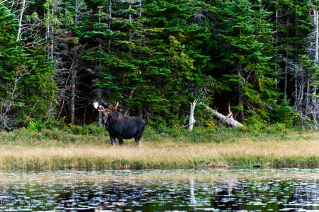 big moose: Curious Moose in the forest close to a lake