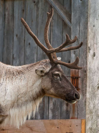 caribou: Caribou head with nice antler, close up a Stock Photo
