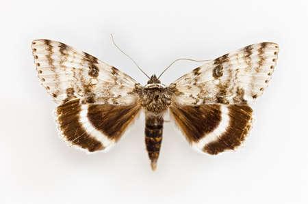 moth: Moth isolated on white background, macro photo