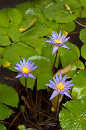 water lilly: Beautiful Water lily in a small water pond Stock Photo