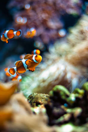 clown fish: Clownfish a beautiful closeup in an aquarium