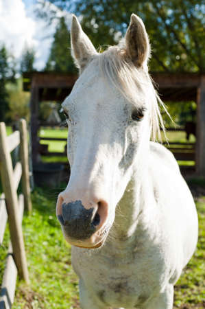 andalusian: White horse in the autumn sun side lit