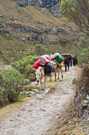 mule train: Mule train in the mountain of the peruvian andes