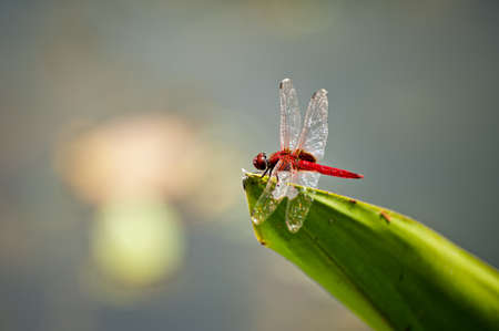 anisoptera: Red dragonfly on a leafe in a pond Stock Photo