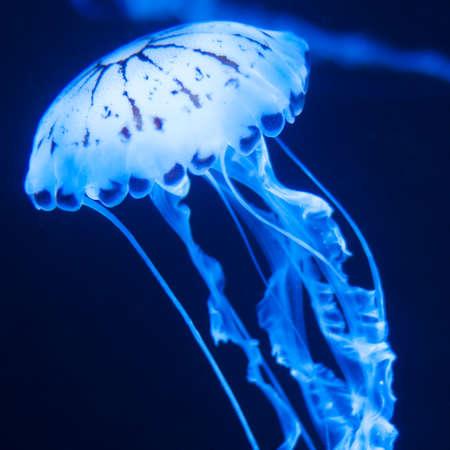 Medúzy Blue tanci v akváriu
