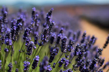 lavender flowers: Lavender field in the summer sun