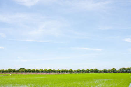 field rice and the blue sky in the thailand. photo