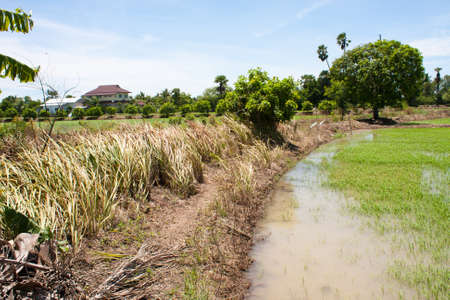 field rice and the blue sky in the thailand. Stock Photo - 7220924