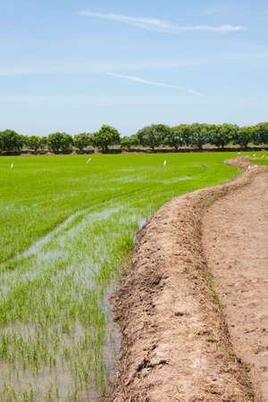 field rice and the blue sky in the thailand. Stock Photo - 7220276