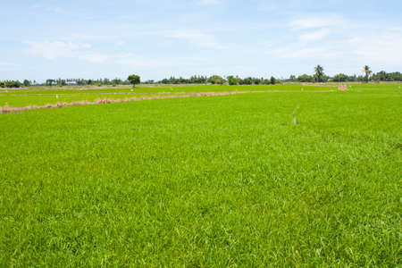 field rice and the blue sky in the thailand. Stock Photo - 7220923