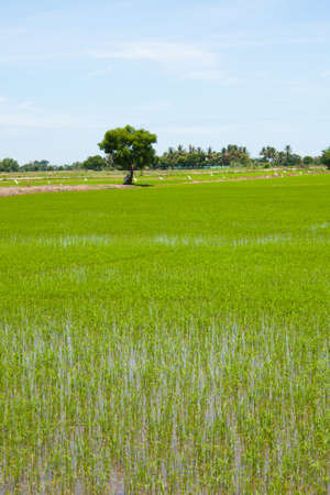 tree and the field rice on the blue sky in the thailand Stock Photo - 7220889