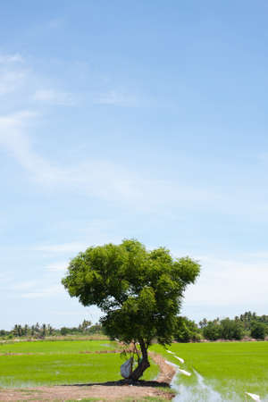 tree and the field rice on the blue sky in the thailand Stock Photo - 7220730