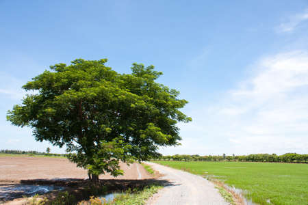 tree and the field rice on the blue sky in the thailand photo