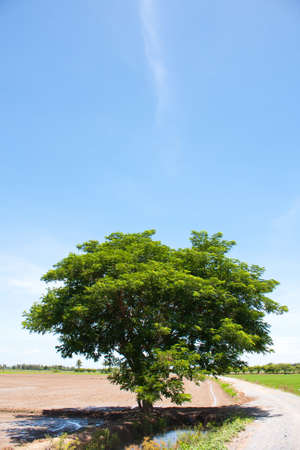 tree and the field rice on the blue sky in the thailand Stock Photo - 7220841