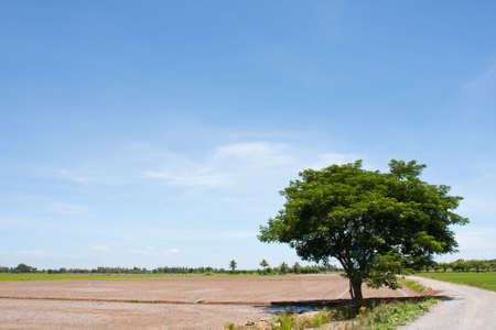 tree and the field rice on the blue sky in the thailand Stock Photo - 7220748