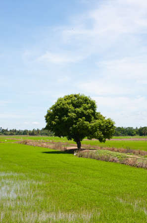 tree and the field rice on the blue sky in the thailand Stock Photo - 7220838