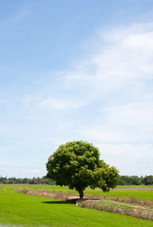 tree and the field rice on the blue sky in the thailand Stock Photo - 7220711