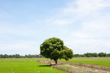 tree and the field rice on the blue sky in the thailand Stock Photo - 7220734