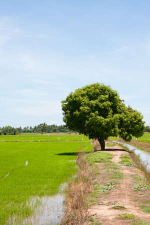 tree and the field rice on the blue sky in the thailand Stock Photo - 7220859