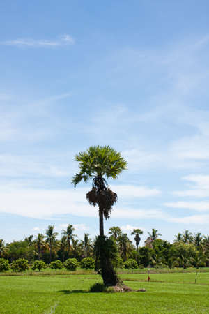 tree in the field rice and the blue sky, field thailand Stock Photo - 7220797