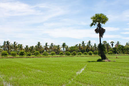 tree and the field rice on the blue sky in the thailand. Stock Photo - 7220863