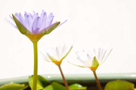 lotus color blue,white background isolated. Stock Photo - 7307125