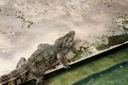 Show crocodiles in the zoo. , An animal that is dangerous. And non-cultivable Stock Photo - 7915778