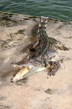 Show crocodiles in the zoo. , An animal that is dangerous. And non-cultivable