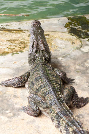 Show crocodiles in the zoo. , An animal that is dangerous. And non-cultivable Stock Photo - 7915776