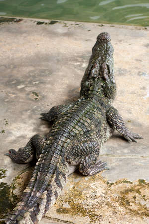 Show crocodiles in the zoo. , An animal that is dangerous. And non-cultivable Stock Photo - 7915777