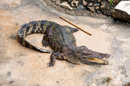 cultivable: Show crocodiles in the zoo. , An animal that is dangerous. And non-cultivable